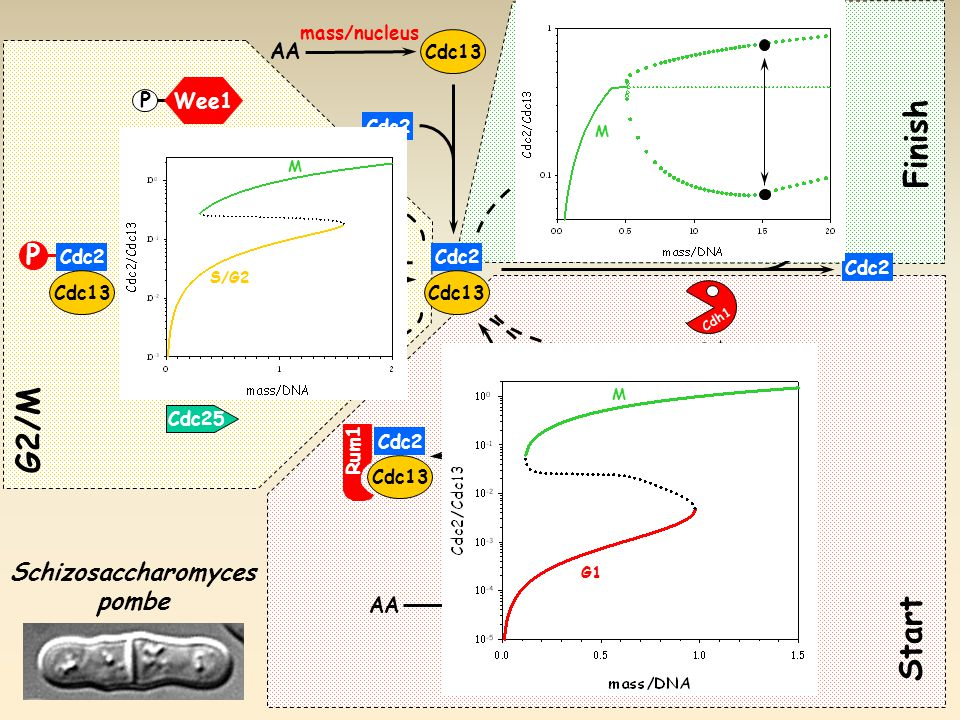 P Cdc25 Wee1 P G2/M Cdc25 Cdc2 Cdc13 P Cdc20 Cdh1 P Rum1 AA Cdh1 +APC Cdc2 Cdc13 Cdc2 Cdc13 Rum1 Schizosaccharomyces pombe AA Cdc2 Cdc13 delay Start Finish mass/nucleus SK G1 M S/G2 M M