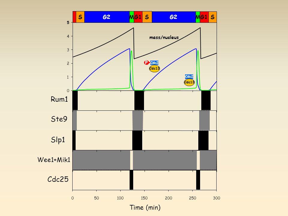 0 1 2 3 4 5 mass/nucleus P Cdc2 Cdc13 Cdc2 Cdc13 Rum1 Ste9 Slp1 Wee1+Mik1 Cdc25 Time (min) SG2MG1S G2MG1S