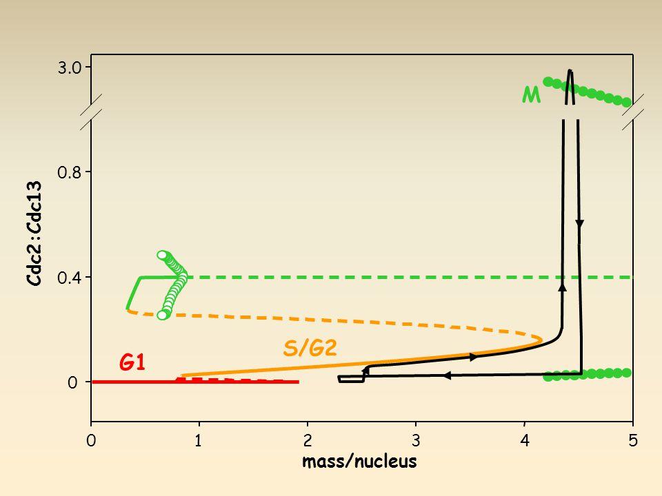012345 0 0.4 0.8 3.0 mass/nucleus Cdc2:Cdc13 G1 S/G2 M
