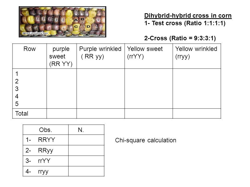Dihybrid-hybrid cross in corn 1- Test cross (Ratio 1:1:1:1) 2-Cross (Ratio = 9:3:3:1) Row purple sweet (RR YY) Purple wrinkled ( RR yy) Yellow sweet (rrYY) Yellow wrinkled (rryy) 1234512345 Total Obs.