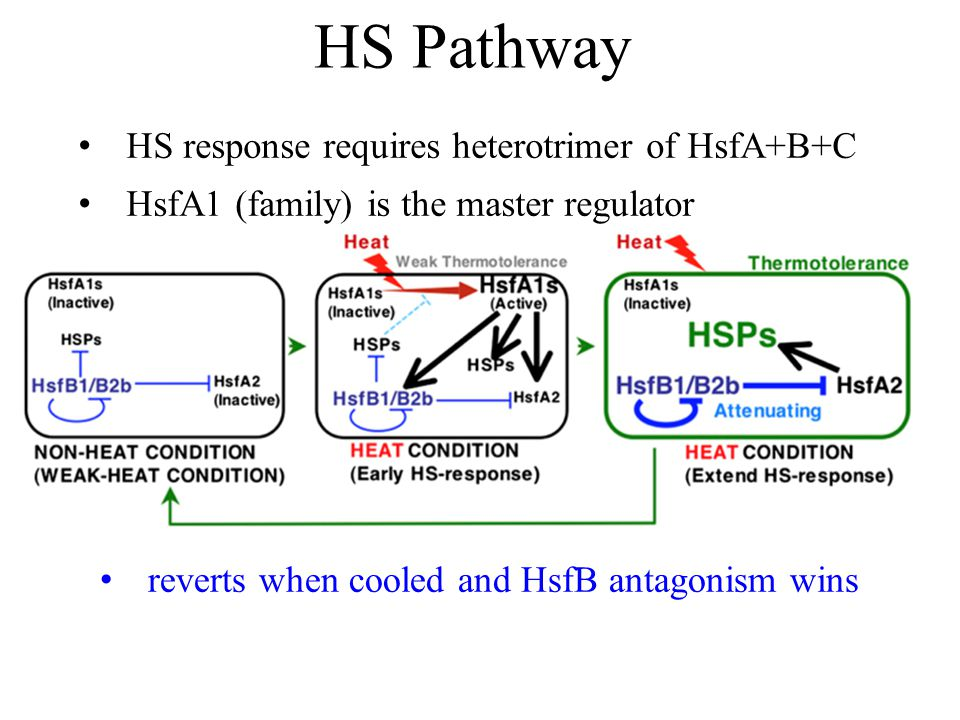HS Pathway reverts when cooled and HsfB antagonism wins HS response requires heterotrimer of HsfA+B+C HsfA1 (family) is the master regulator