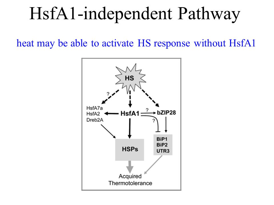 HsfA1-independent Pathway heat may be able to activate HS response without HsfA1