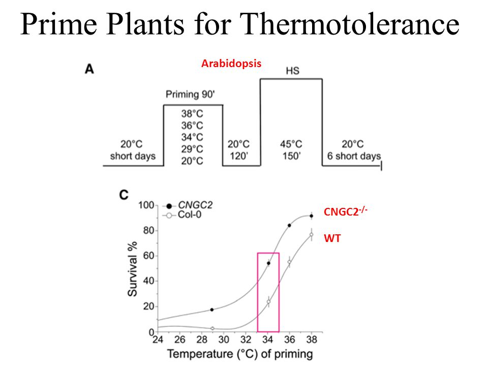 Prime Plants for Thermotolerance Arabidopsis WT CNGC2 -/-