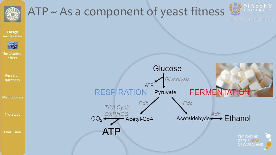 Certain yeasts produce ethanol in aerobic condition Crabtree-positive yeasts Ferment sugar in addition to respiration In presence of oxygen Above a critical [sugar] By opposition: Crabtree-negative yeasts Use solely the respiration pathway Energy metabolism The Crabtree effect Research questions Methodology Pilot study Conclusion Crabtree effect ~Aerobic alcoholic fermentation~ Crabtree, Biochem.