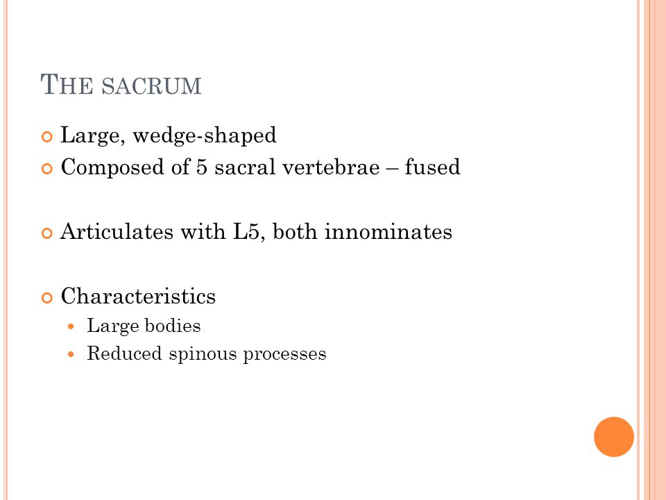 T HE SACRUM Large, wedge-shaped Composed of 5 sacral vertebrae – fused Articulates with L5, both innominates Characteristics Large bodies Reduced spinous processes