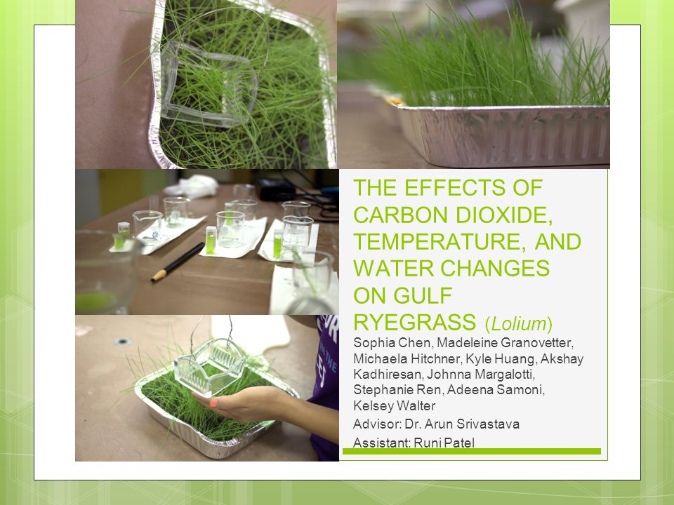 THE EFFECTS OF CARBON DIOXIDE, TEMPERATURE, AND WATER CHANGES ON GULF RYEGRASS (Lolium) Sophia Chen, Madeleine Granovetter, Michaela Hitchner, Kyle Huang, Akshay Kadhiresan, Johnna Margalotti, Stephanie Ren, Adeena Samoni, Kelsey Walter Advisor: Dr.