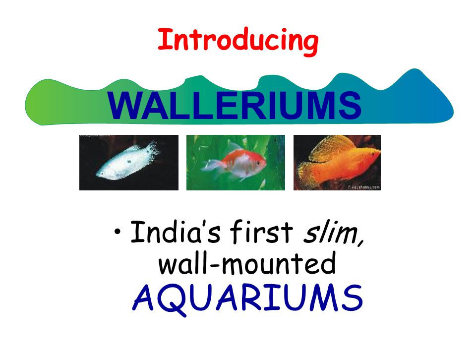 Introducing India's first slim, wall-mounted AQUARIUMS WALLERIUMS