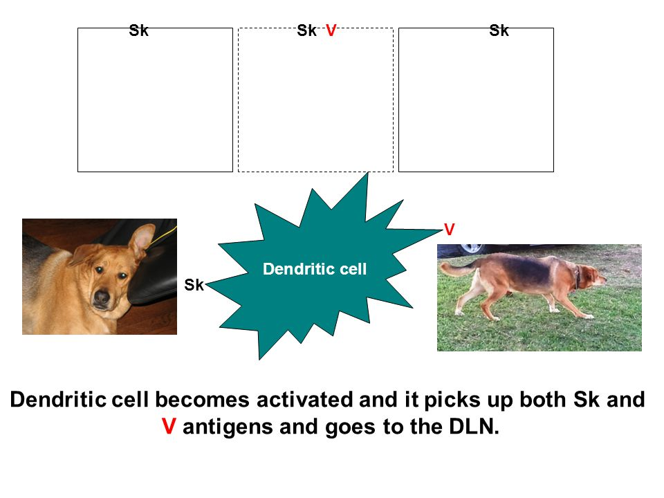 Dendritic cell becomes activated and it picks up both Sk and V antigens and goes to the DLN.