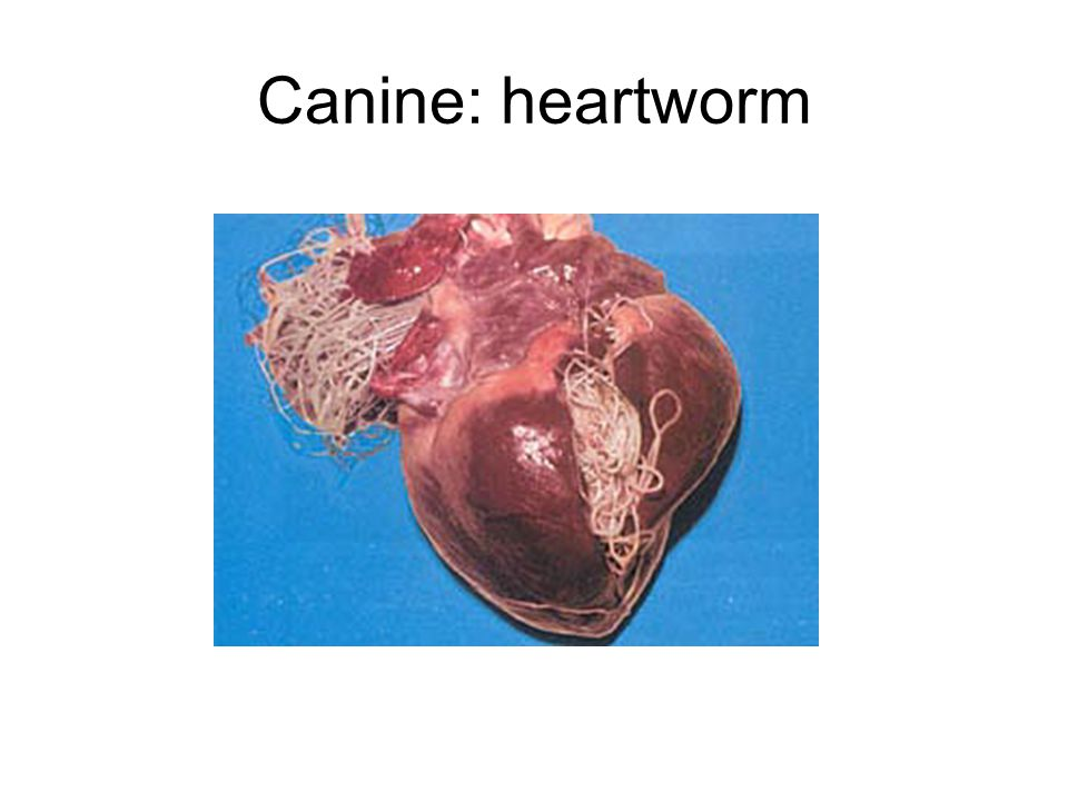 Canine: heartworm