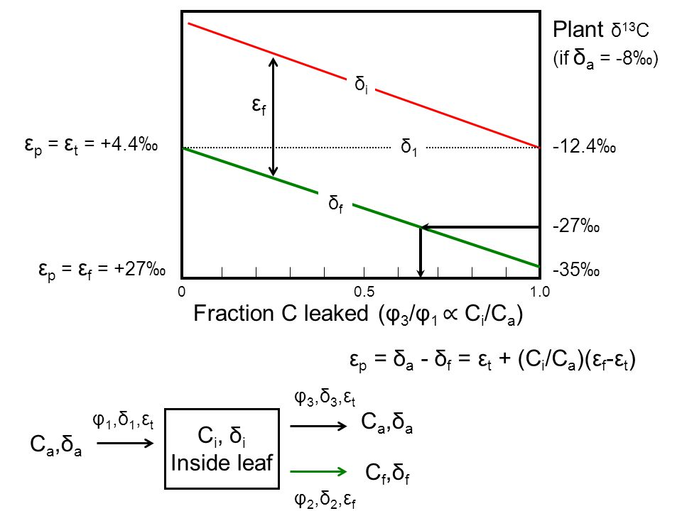 C i, δ i Inside leaf C a,δ a C f,δ f φ 1,δ 1,ε t φ 3,δ 3,ε t φ 2,δ 2,ε f -12.4‰ -35‰ -27‰ Plant δ 13 C (if δ a = -8‰) ε p = ε t = +4.4‰ ε p = ε f = +27‰ εfεf 00.51.0 Fraction C leaked (φ 3 /φ 1 ∝ C i /C a ) δiδi δfδf δ1δ1 ε p = δ a - δ f = ε t + (C i /C a )(ε f -ε t )