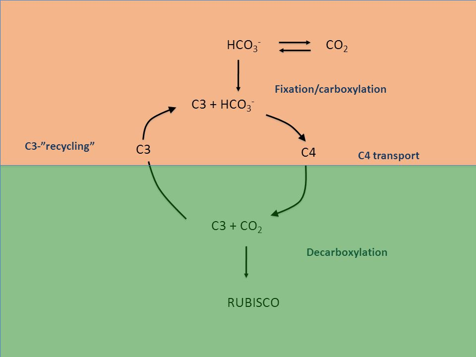 CO 2 Concentrating Mechanisms a)C 4 Photosynthesis: spacial separation b)Crassulacean Acid Metabolism (CAM): temporal separation