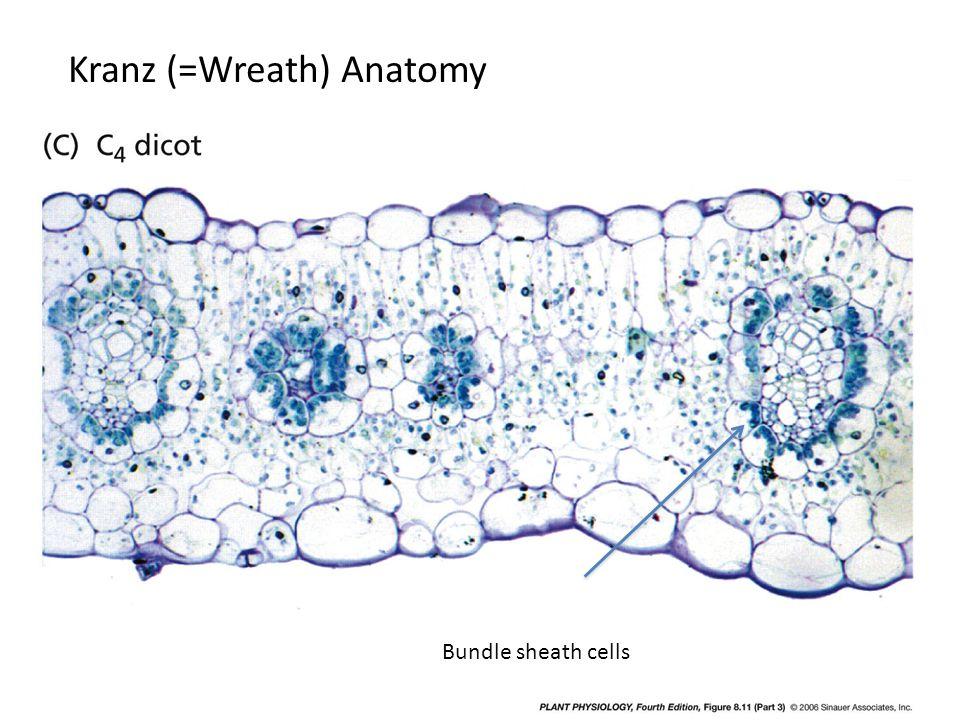 Kranz (=Wreath) Anatomy Bundle sheath cells