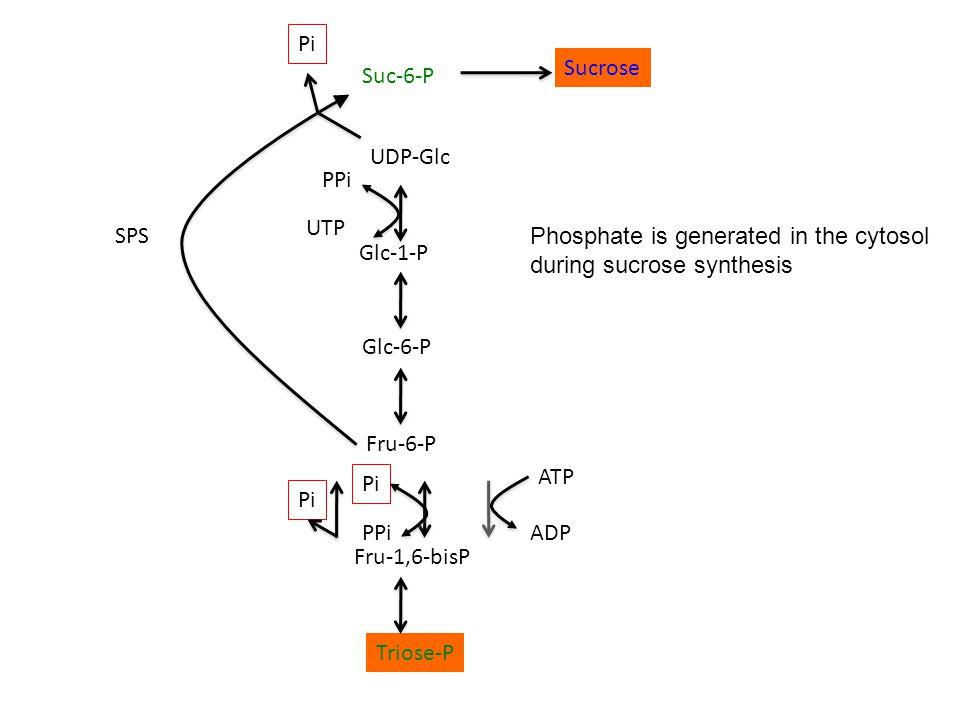 Triose-P Fru-1,6-bisP Fru-6-P Glc-6-P Glc-1-P UDP-Glc Suc-6-P Pi PPi ATP ADP PPi UTP Pi Sucrose SPS Phosphate is generated in the cytosol during sucrose synthesis