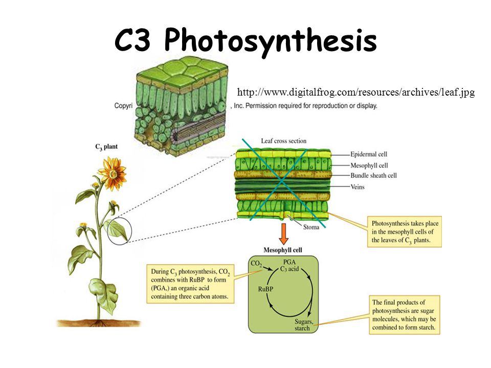 C3 Photosynthesis http://www.digitalfrog.com/resources/archives/leaf.jpg