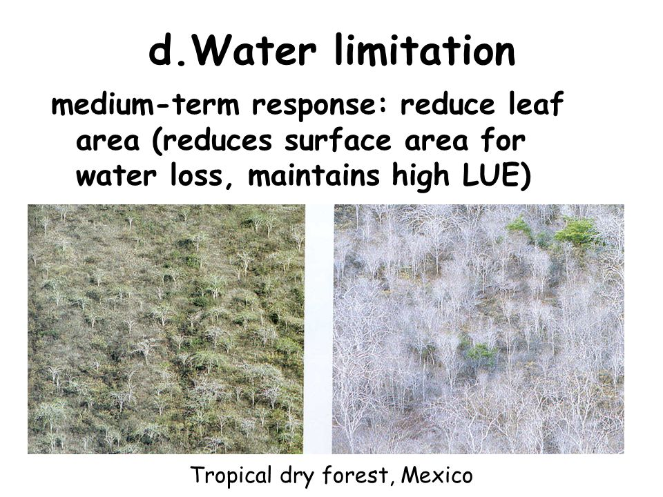 d.Water limitation medium-term response: reduce leaf area (reduces surface area for water loss, maintains high LUE) Tropical dry forest, Mexico