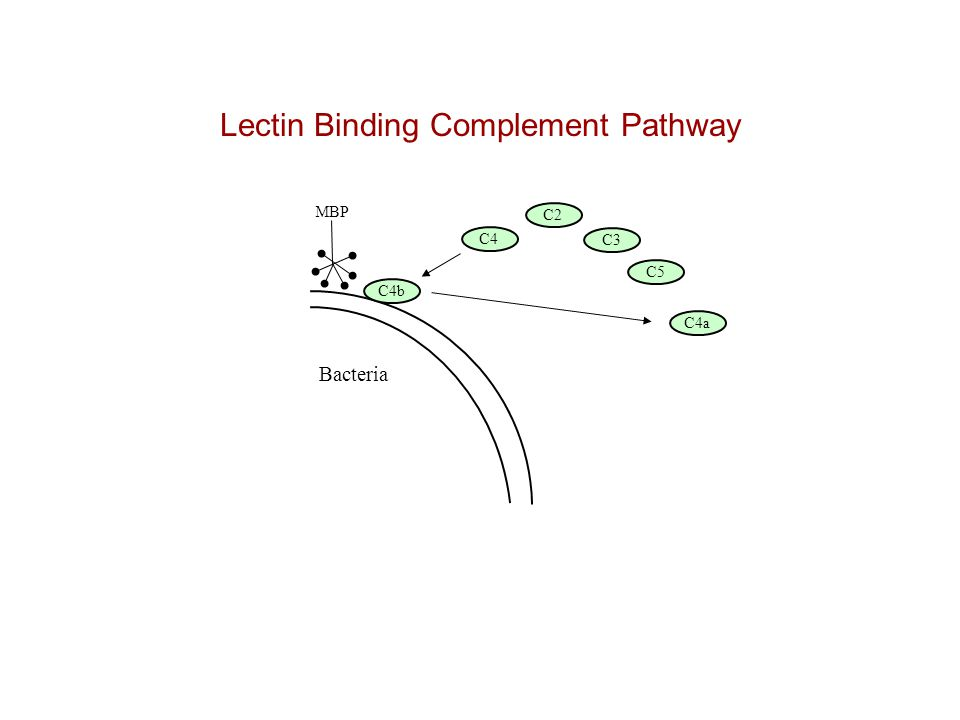 Lectin Binding Complement Pathway Bacteria C4 C2 C3 C5 MBP C4b C4a