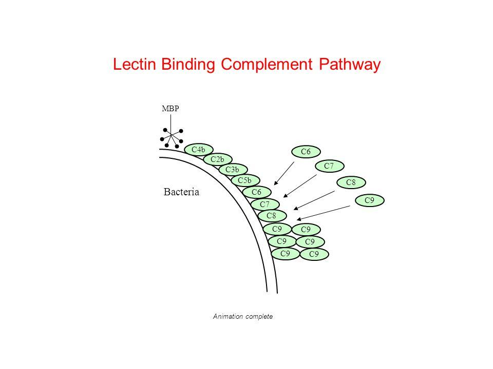 Lectin Binding Complement Pathway Bacteria C6 C7 C8 C9 MBP C4b C2b C3b C5b C6 C7 C8 C9 Animation complete