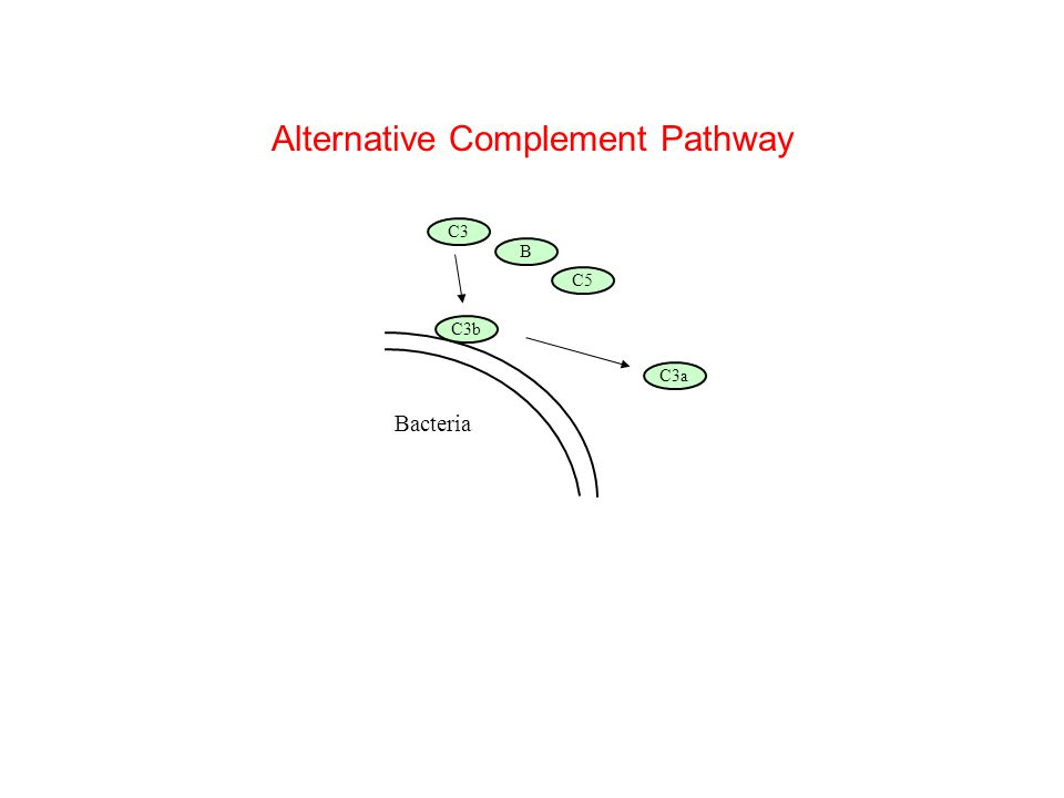 Bacteria B C5 C3b C3 C3a Alternative Complement Pathway
