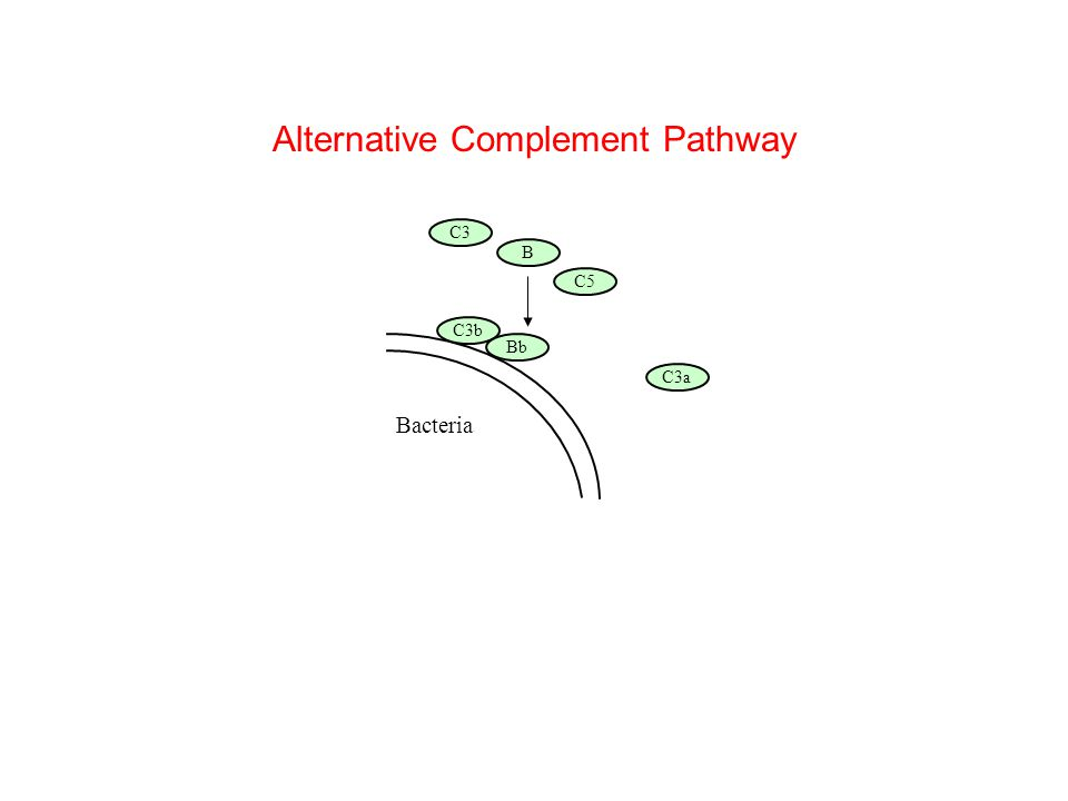 Bacteria B C5 C3b C3 C3a Bb Alternative Complement Pathway