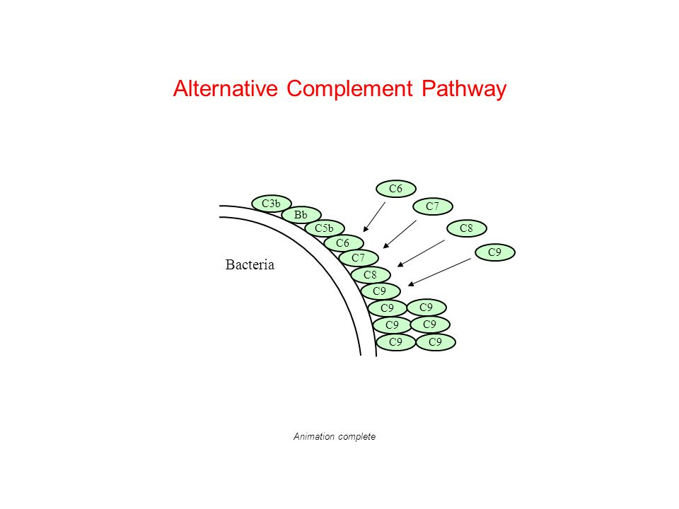 Bacteria C5b C3b Bb C6 C7 C8 C9 C6 C7 C8 C9 Alternative Complement Pathway Animation complete