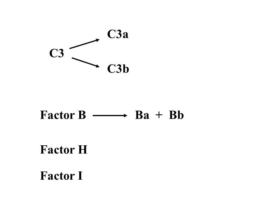C3 C3a C3b Factor BBa + Bb Factor H Factor I