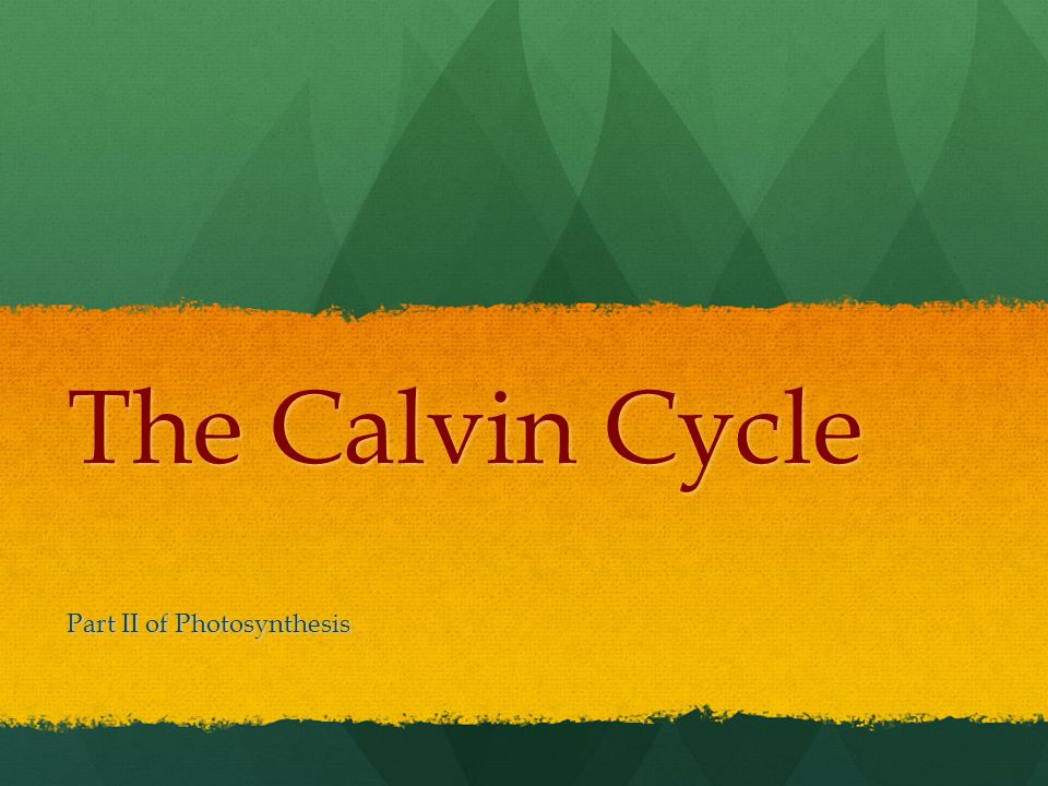 Calvin Named after American biochemist Melvin Calvin Named after American biochemist Melvin Calvin Most commonly used pathway by most plants Most commonly used pathway by most plants Calvin cycle is used by plants that are called C3 because of the 3-Carbon molecules that are made Calvin cycle is used by plants that are called C3 because of the 3-Carbon molecules that are made