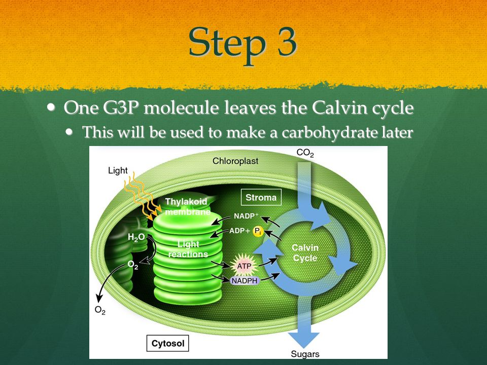 Step 3 One G3P molecule leaves the Calvin cycle One G3P molecule leaves the Calvin cycle This will be used to make a carbohydrate later This will be used to make a carbohydrate later