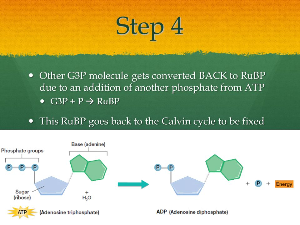 Step 4 Other G3P molecule gets converted BACK to RuBP due to an addition of another phosphate from ATP Other G3P molecule gets converted BACK to RuBP due to an addition of another phosphate from ATP G3P + P  RuBP G3P + P  RuBP This RuBP goes back to the Calvin cycle to be fixed again This RuBP goes back to the Calvin cycle to be fixed again