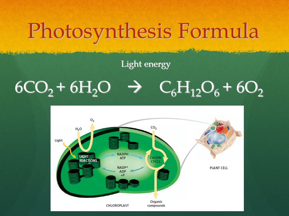 Photosynthesis Formula Light energy 6CO 2 + 6H 2 O  C 6 H 12 O 6 + 6O 2 6CO 2 + 6H 2 O  C 6 H 12 O 6 + 6O 2