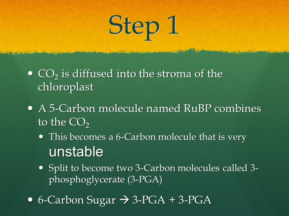 Step 1 CO 2 is diffused into the stroma of the chloroplast CO 2 is diffused into the stroma of the chloroplast A 5-Carbon molecule named RuBP combines to the CO 2 A 5-Carbon molecule named RuBP combines to the CO 2 This becomes a 6-Carbon molecule that is very unstable This becomes a 6-Carbon molecule that is very unstable Split to become two 3-Carbon molecules called 3- phosphoglycerate (3-PGA) Split to become two 3-Carbon molecules called 3- phosphoglycerate (3-PGA) 6-Carbon Sugar  3-PGA + 3-PGA 6-Carbon Sugar  3-PGA + 3-PGA