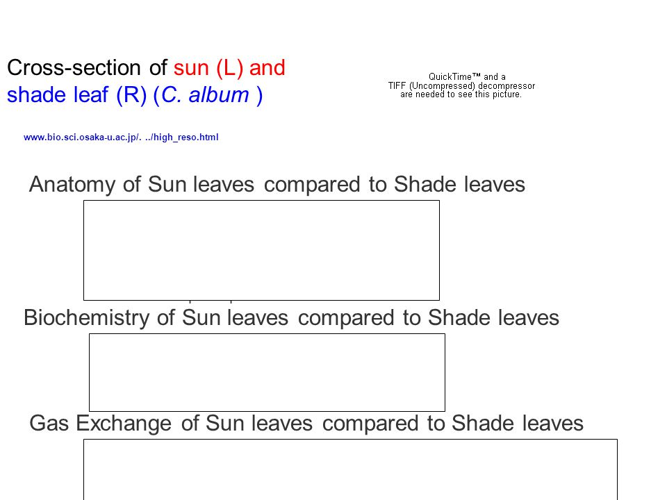 Cross-section of sun (L) and shade leaf (R) (C.