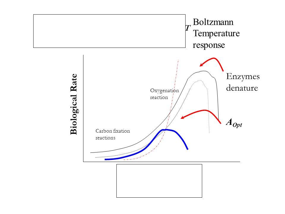 Temperature Kinetic processes= e -E/kT Biological Rate Enzymes denature Carbon fixation reactions Oxygenation reaction A Opt Boltzmann Temperature response