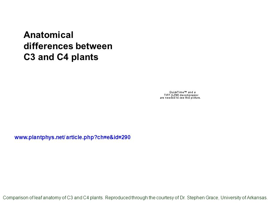 Comparison of leaf anatomy of C3 and C4 plants. Reproduced through the courtesy of Dr.