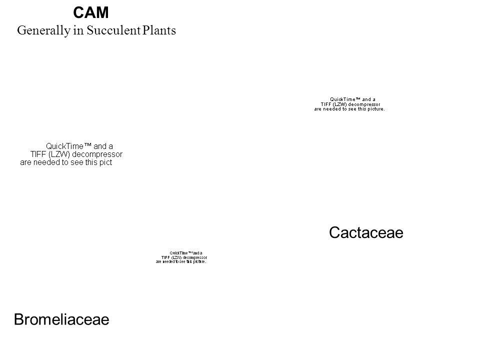 CAM Bromeliaceae Cactaceae Generally in Succulent Plants