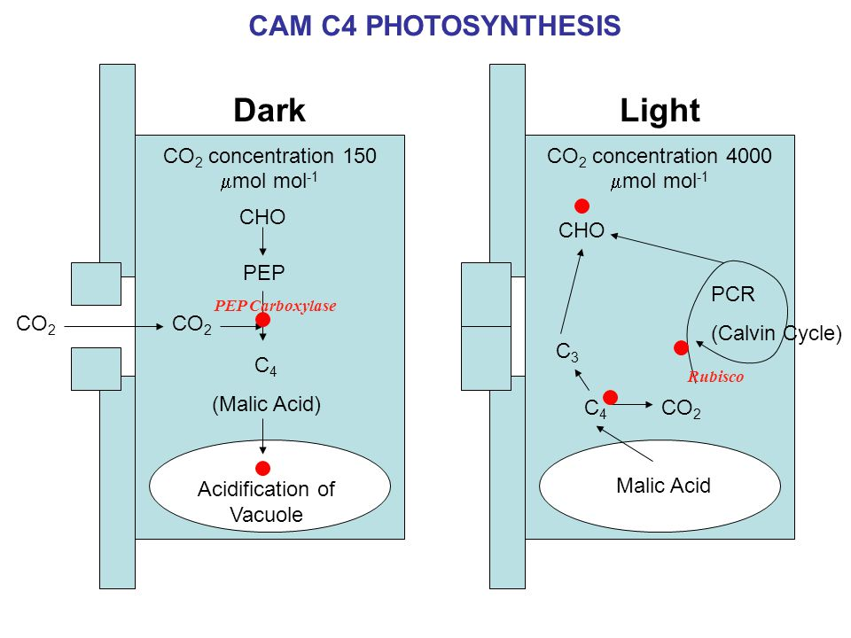 CO 2 C 4 (Malic Acid) Dark CO 2 concentration 150  mol mol -1 CHO PEP Acidification of Vacuole CO 2 C4C4 Light CO 2 concentration 4000  mol mol -1 CHO Malic Acid C3C3 PEP Carboxylase Rubisco PCR (Calvin Cycle) CAM C4 PHOTOSYNTHESIS