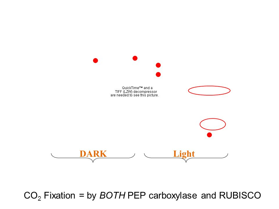 DARKLight CO 2 Fixation = by BOTH PEP carboxylase and RUBISCO