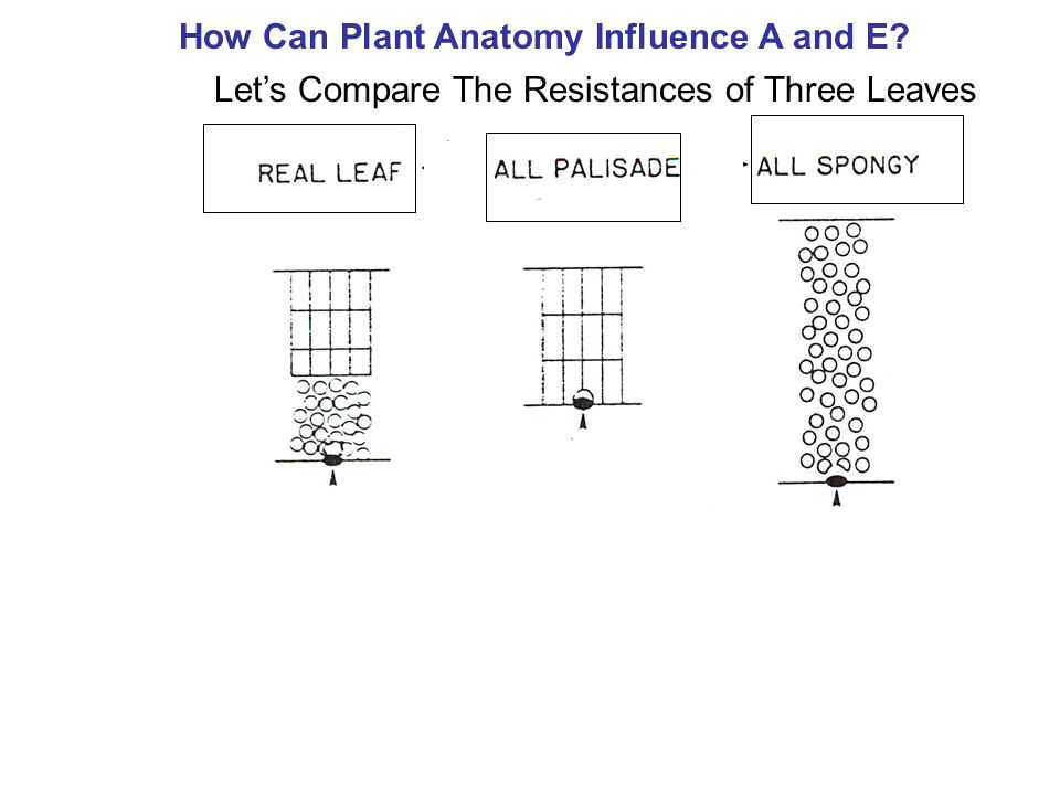 Let's Compare The Resistances of Three Leaves How Can Plant Anatomy Influence A and E?