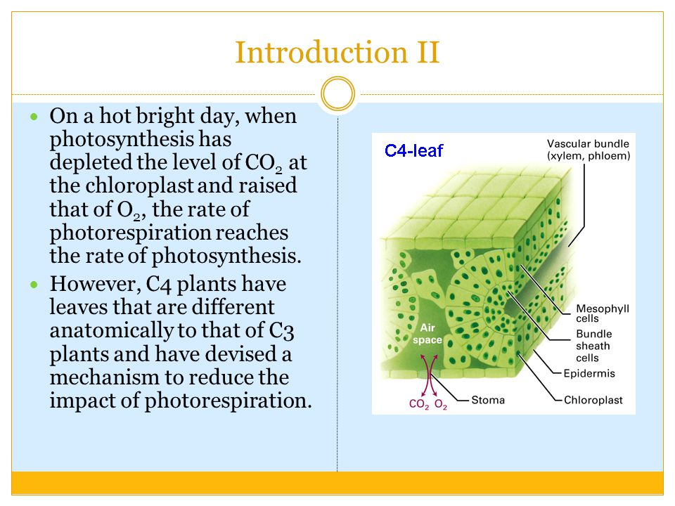 Introduction II On a hot bright day, when photosynthesis has depleted the level of CO 2 at the chloroplast and raised that of O 2, the rate of photorespiration reaches the rate of photosynthesis.