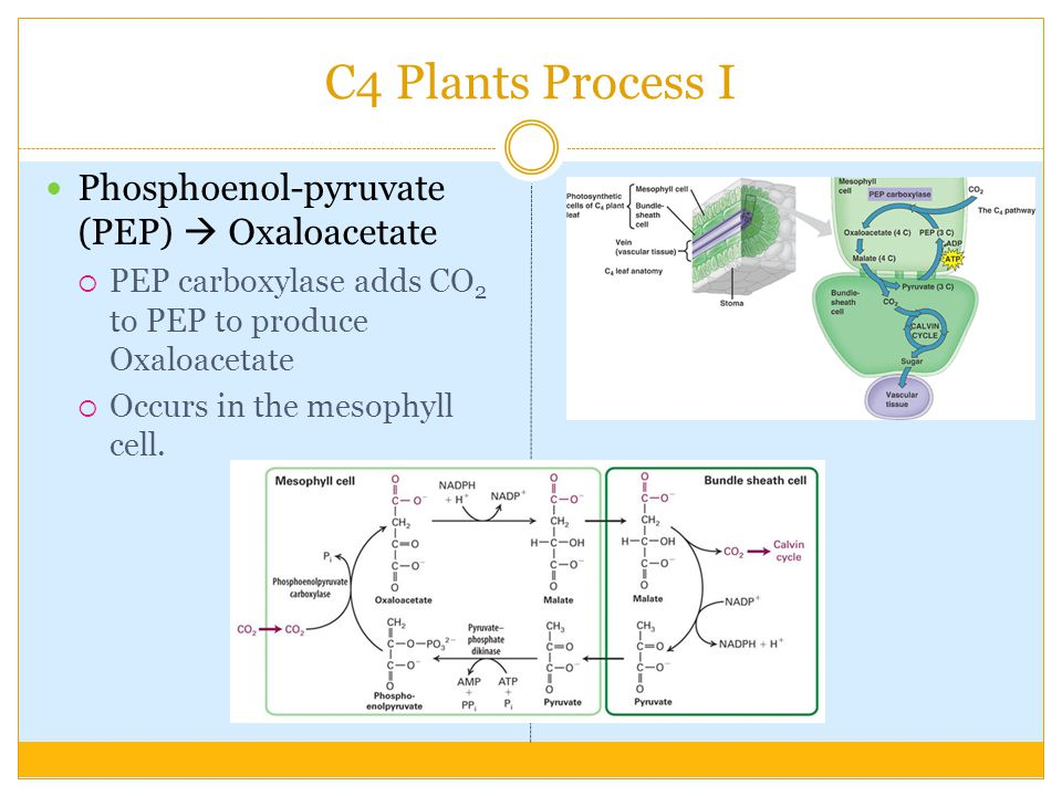 C4 Plants Process I Phosphoenol-pyruvate (PEP)  Oxaloacetate  PEP carboxylase adds CO 2 to PEP to produce Oxaloacetate  Occurs in the mesophyll cell.