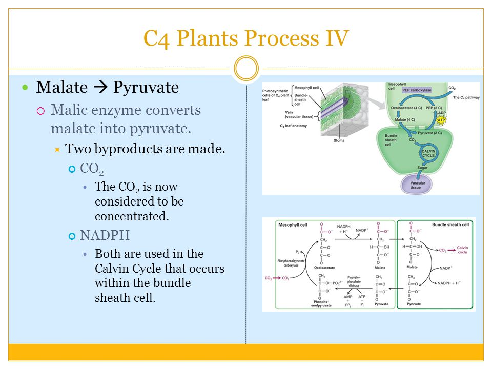 C4 Plants Process IV Malate  Pyruvate  Malic enzyme converts malate into pyruvate.