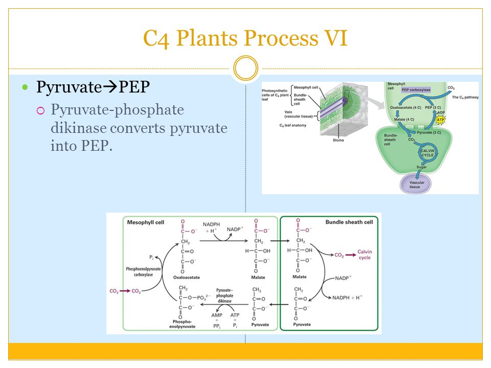 C4 Plants Process VI Pyruvate  PEP  Pyruvate-phosphate dikinase converts pyruvate into PEP.
