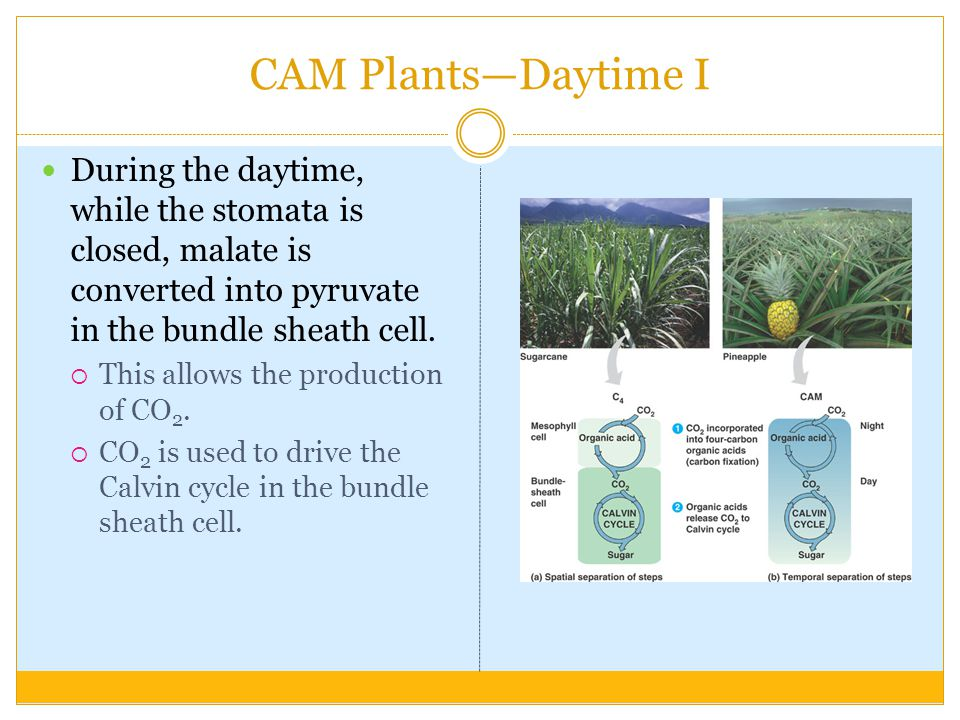 CAM Plants—Daytime I During the daytime, while the stomata is closed, malate is converted into pyruvate in the bundle sheath cell.