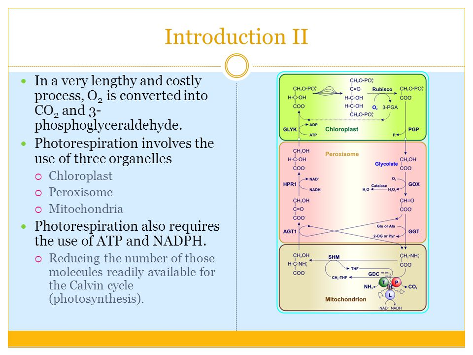 Introduction II In a very lengthy and costly process, O 2 is converted into CO 2 and 3- phosphoglyceraldehyde.