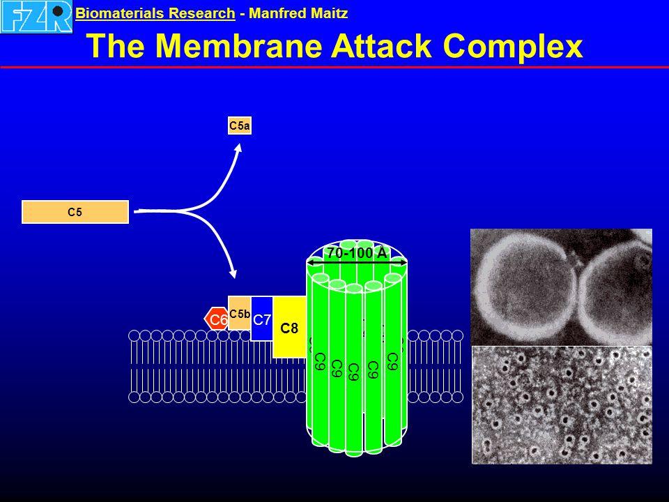 Biomaterials ResearchBiomaterials Research - Manfred Maitz The Membrane Attack Complex C6 C7 C8 C9 C5 C5b C5a 70-100 Å