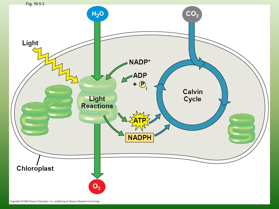Light Fig. 10-5-3 H2OH2O Chloroplast Light Reactions NADP + P ADP i + ATP NADPH O2O2 Calvin Cycle CO 2