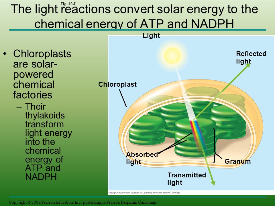 The light reactions convert solar energy to the chemical energy of ATP and NADPH Copyright © 2008 Pearson Education, Inc., publishing as Pearson Benja