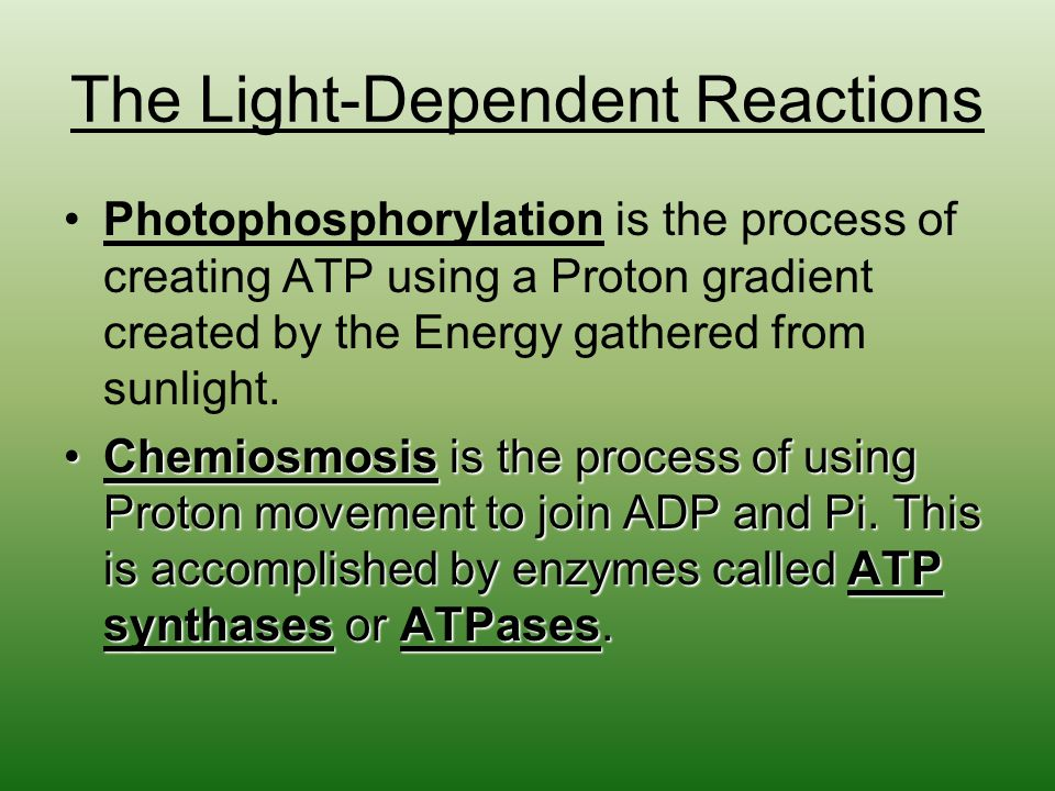 The Light-Dependent Reactions Photophosphorylation is the process of creating ATP using a Proton gradient created by the Energy gathered from sunlight.