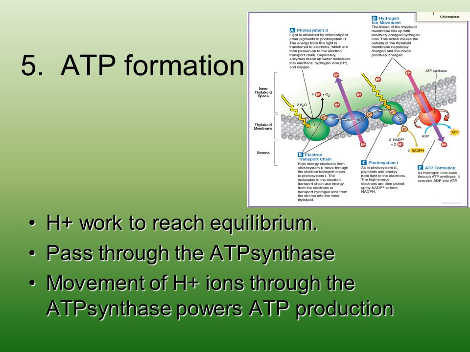 5. ATP formation H+ work to reach equilibrium.H+ work to reach equilibrium. Pass through the ATPsynthasePass through the ATPsynthase Movement of H+ io
