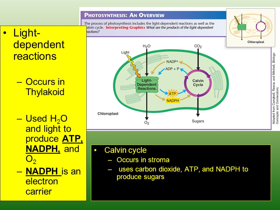 Light- dependent reactions –Occurs in Thylakoid –Used H 2 O and light to produce ATP, NADPH, and O 2 –NADPH is an electron carrier Calvin cycle –Occurs in stroma – uses carbon dioxide, ATP, and NADPH to produce sugars