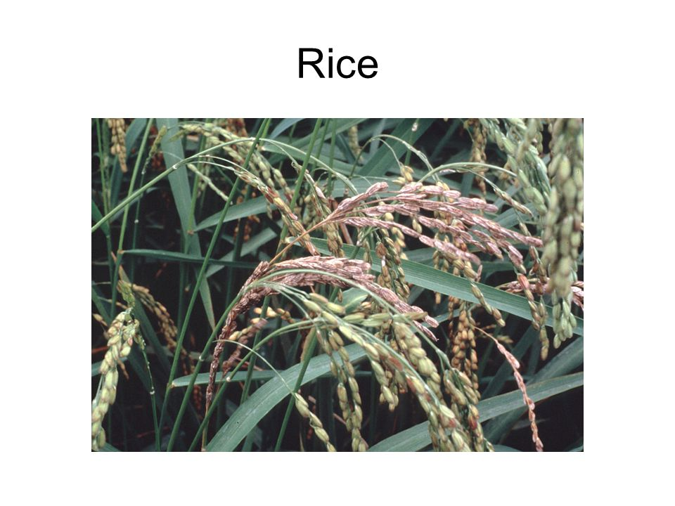 Grown in areas of high temperature and high humidity Small plants are planted out in flooded fields Rice can grow in normal soil Flooded fields reduce competition from weeds Nitrogen fixing bacteria live on flooded rice roots providing nitrate.